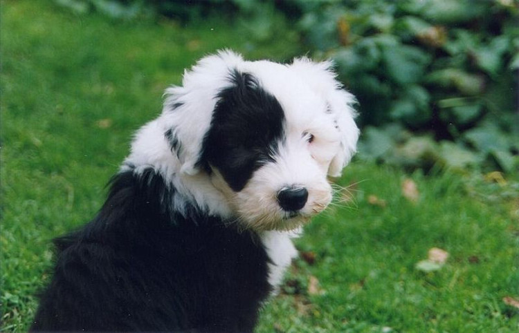 photo d'un chiot bobtail